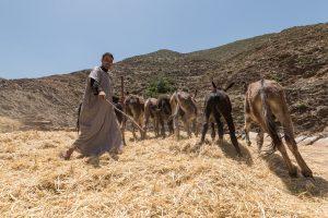 Homme menant son bétail en pâturage